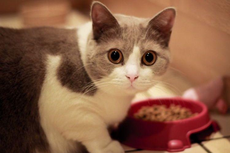 Кот ест корм из миски
