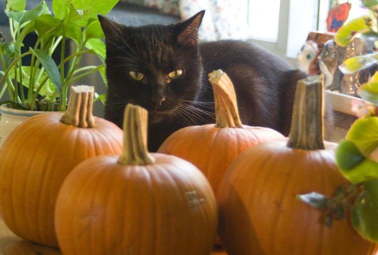 Черный кот и тыквы