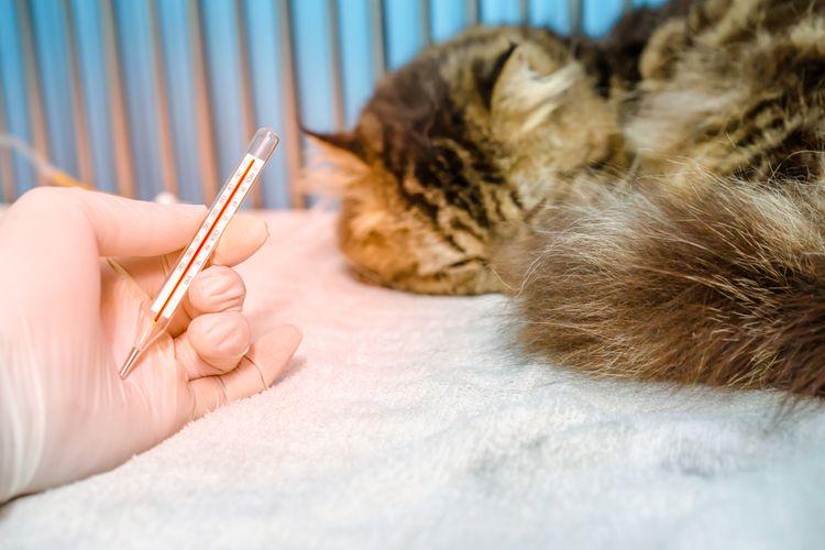 Симптомы пироплазмоза у кошек