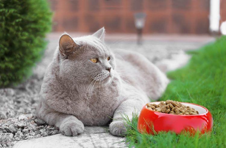 Британская кошка у миски с сухим кормом
