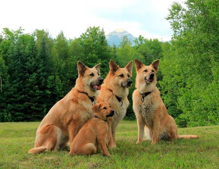 Ездовая собака чинук