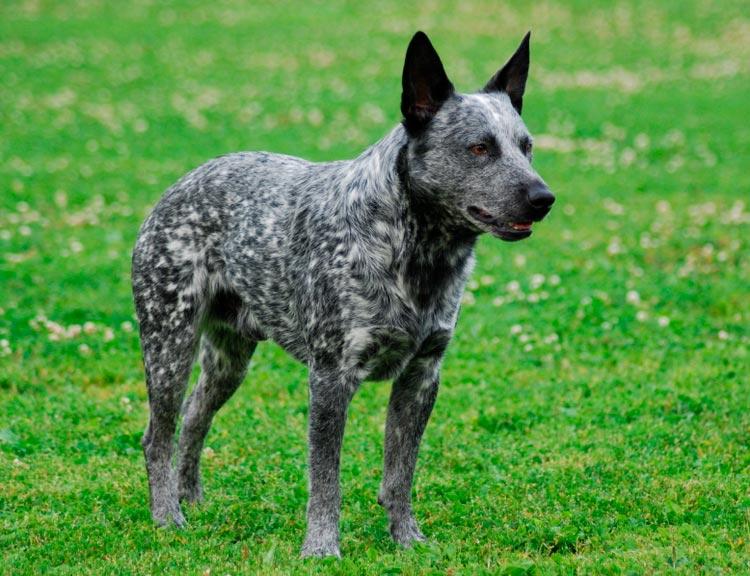 Австралийская короткохвостая пастушья собака голубая