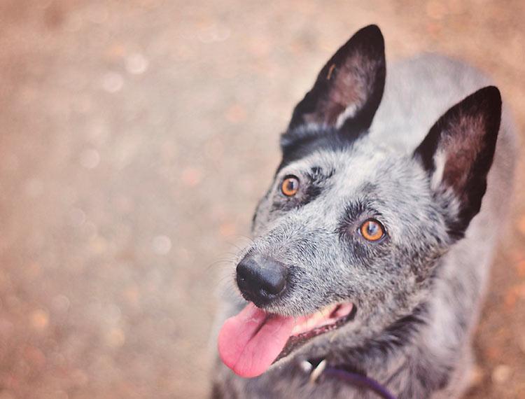 порола Австралийская короткохвостая пастушья собака