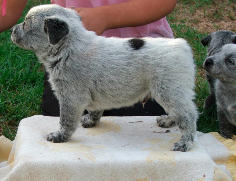 Австралийская короткохвостая пастушья собака щенок