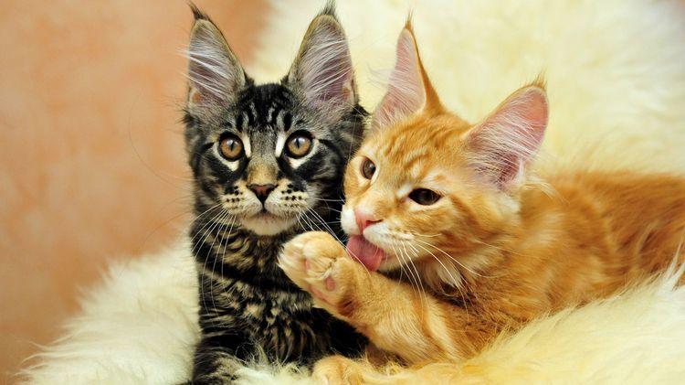 Подросшие котята мейн-кун