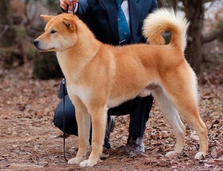 порода собак Корейский джиндо