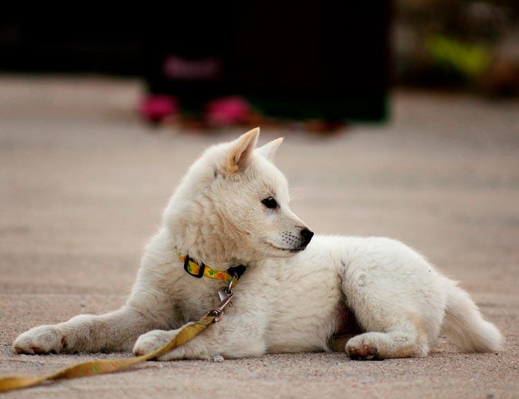 характер собаки Чиндо
