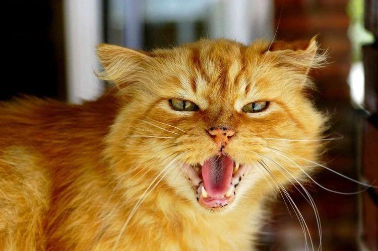 Рыжий кот шипит