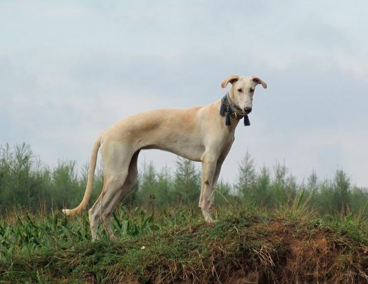 порода собак Польская борзая