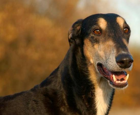 собака породы Польская борзая