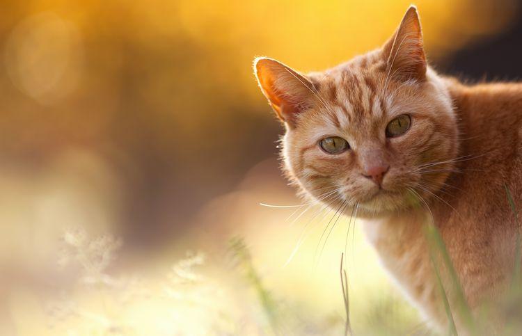 Зооринг для кошек