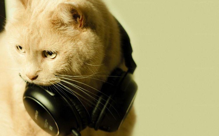 Кот с наушниками на шее