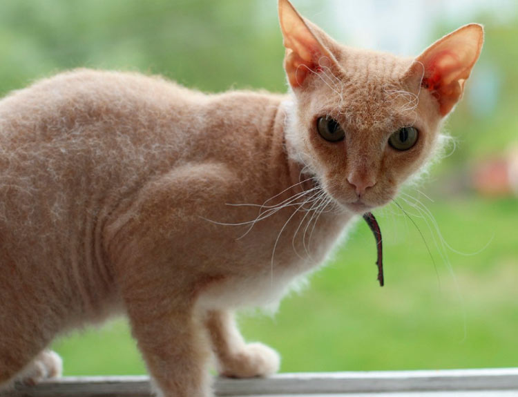 кошка сфинкс с шерстью фото