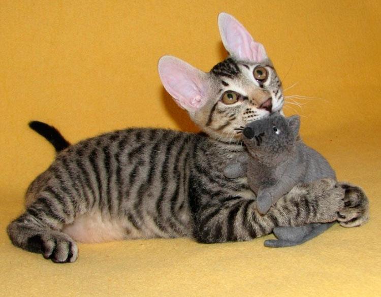 котенок сфинкса с шерстью
