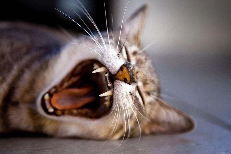 В каком возрасте у кошек выпадают молочные зубы