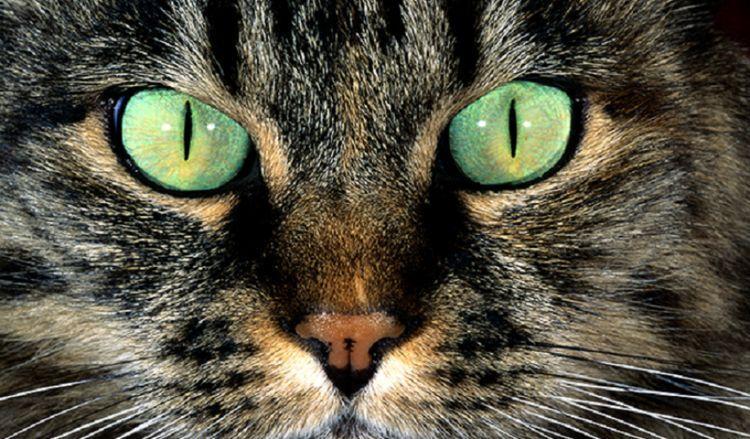 Зрачки кошки