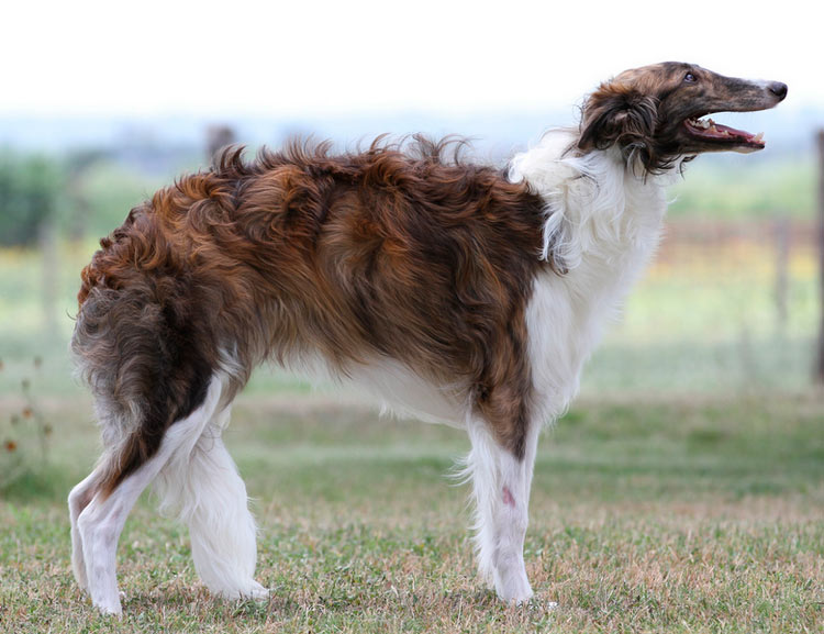 собака породы Шелковистый виндхаунд