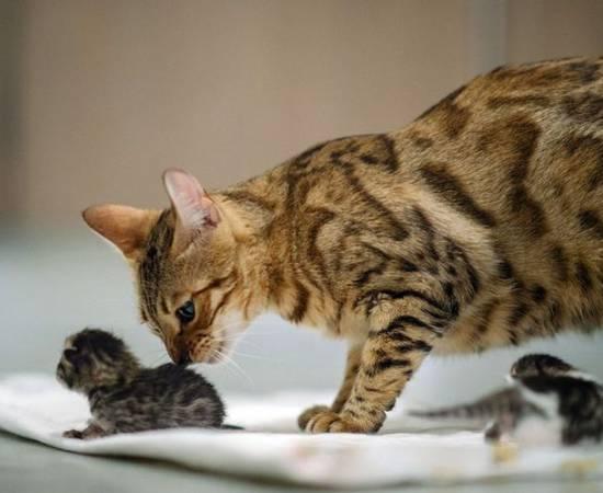 Сколько длятся схватки у кошки