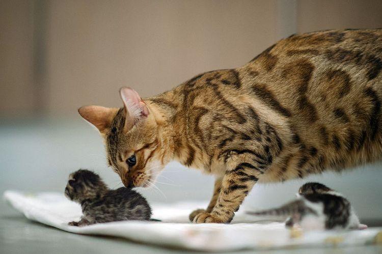 Промежутки Между Рождением Котят - Кошки и Собаки простыми словами