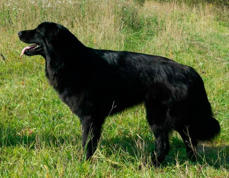 порода собак Тувинская овчарка