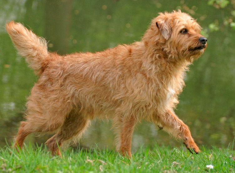 собака породы Голландский смаусхунд
