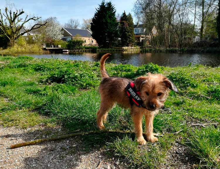 Голландский смаусхунд щенок