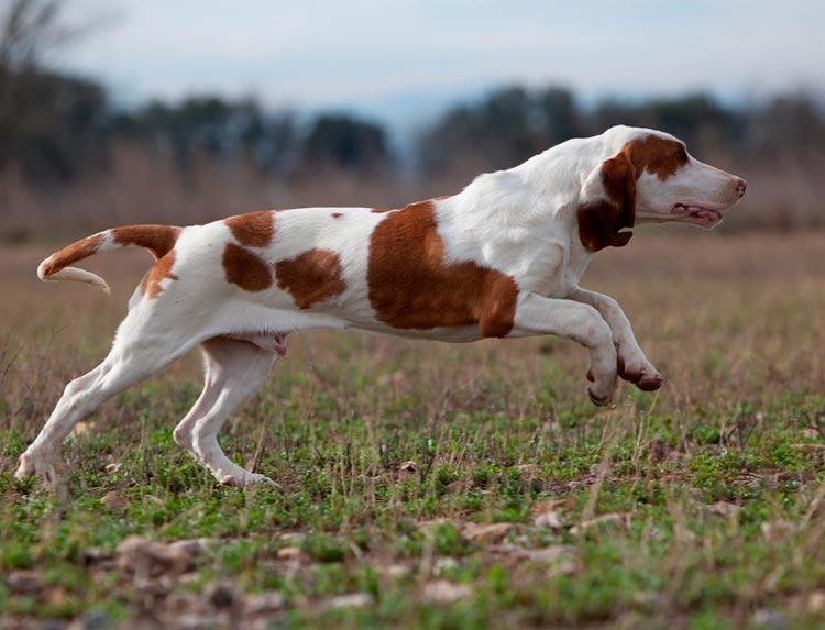 собака породы Испанская гончая
