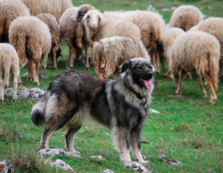 Крашская овчарка пасет овец