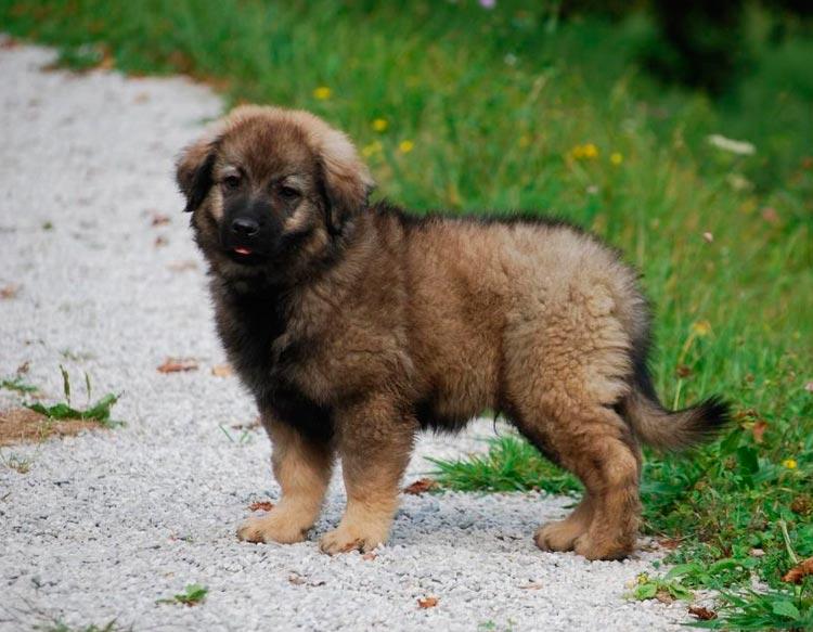 Крашская овчарка щенок