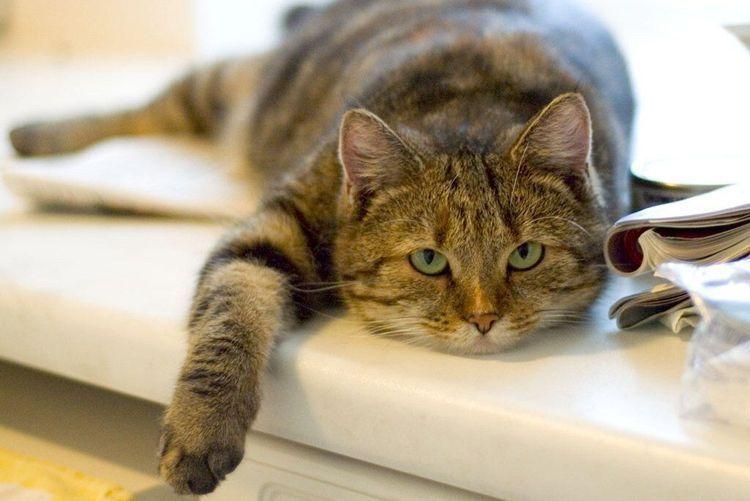 Толстый кот лежит на столе