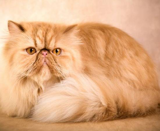 Персидская кошка с приплюснутой мордой
