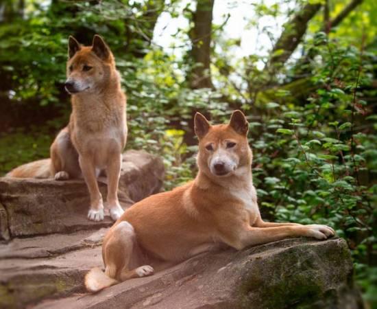 две новогвинейские поющие собаки