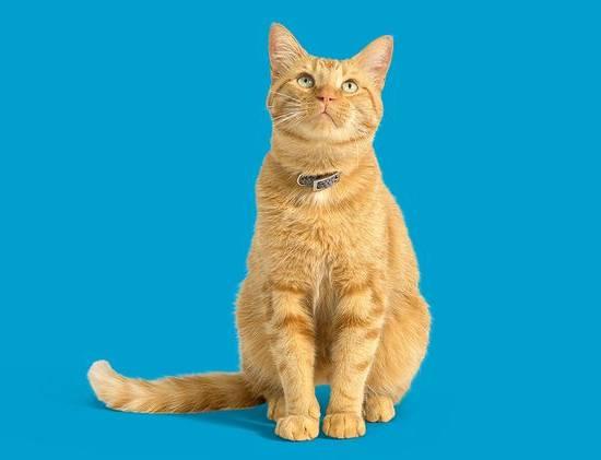 Рыжий кот на синем фоне