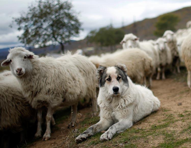 греческая овчарка с овцами