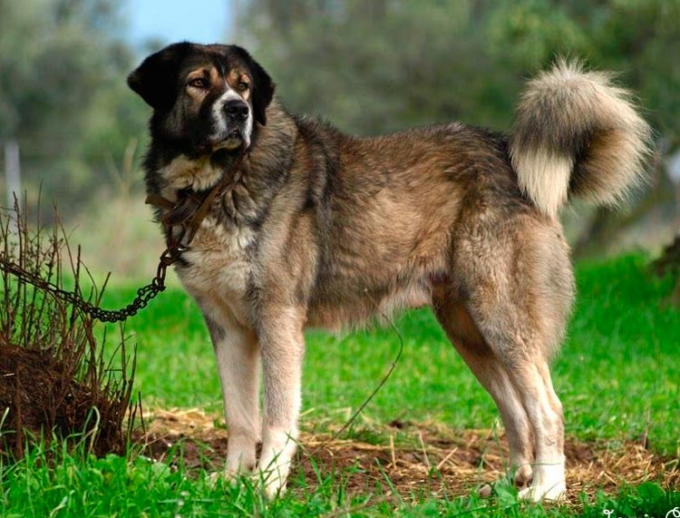 собака породы греческая овчарка
