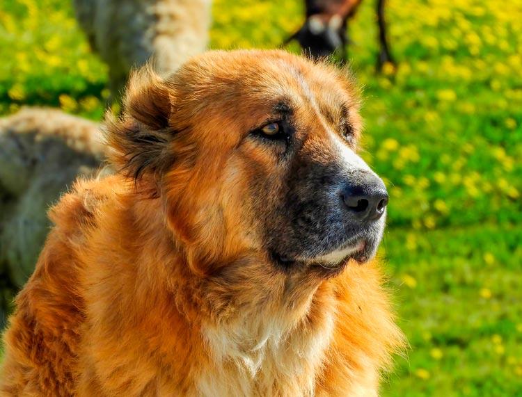 порода собак греческая овчарка