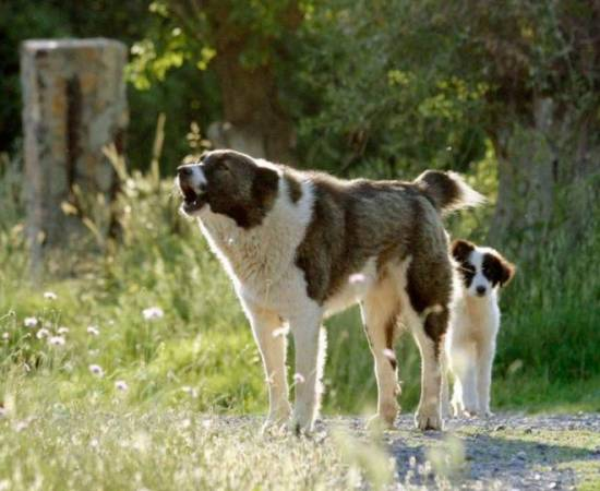 греческая овчарка со щенком