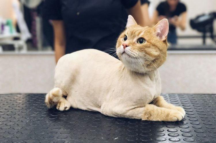 Рыжий кот после стрижки