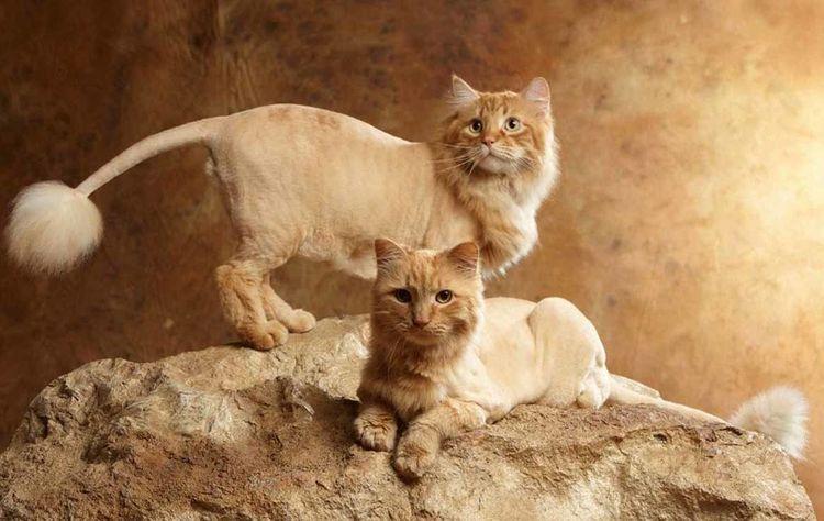 Рыжий кот пострижен как лев