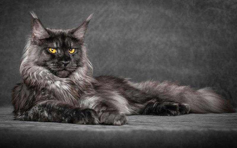 Мейн-кун - редкие породы кошек