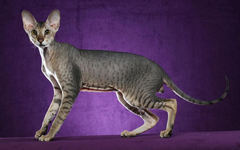 Петерболд - редкие породы кошек