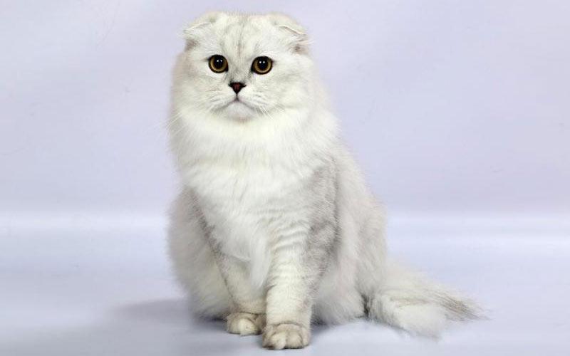 Хайленд-фолд - редкие породы кошек