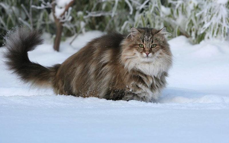Норвежская лесная - редкие породы кошек