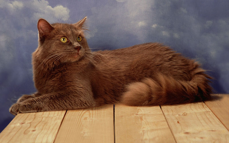 Шантильи-тиффани - редкие породы кошек