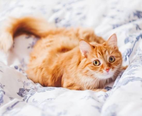 Бывают ли рыжие кошки
