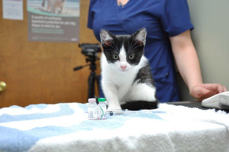 Котенку делают прививку