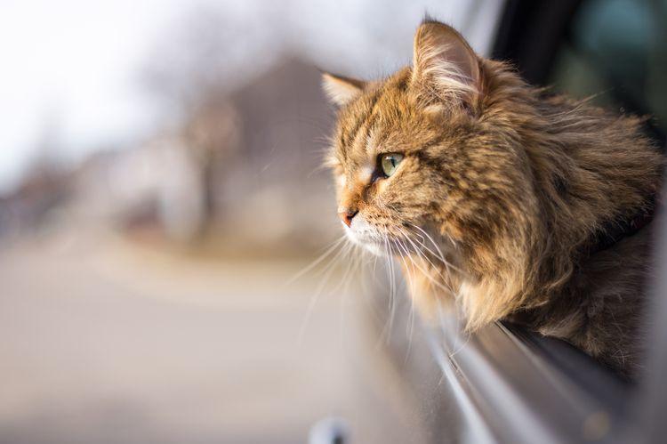 Пушистый кот в машине