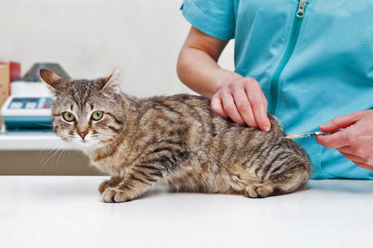 Прививка взрослой кошке