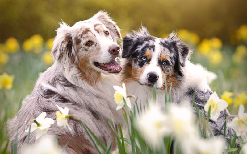 Течка у собаки - основные вопросы, возможные осложнения