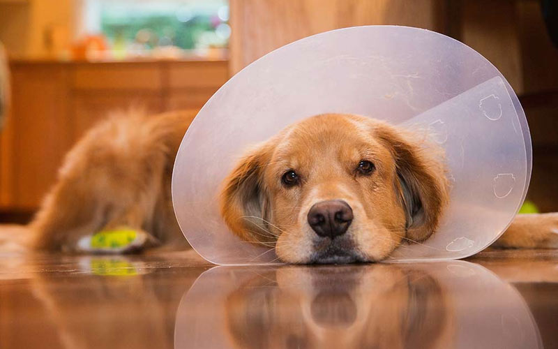 Заворот желудка у собак - операция и послеоперационный период